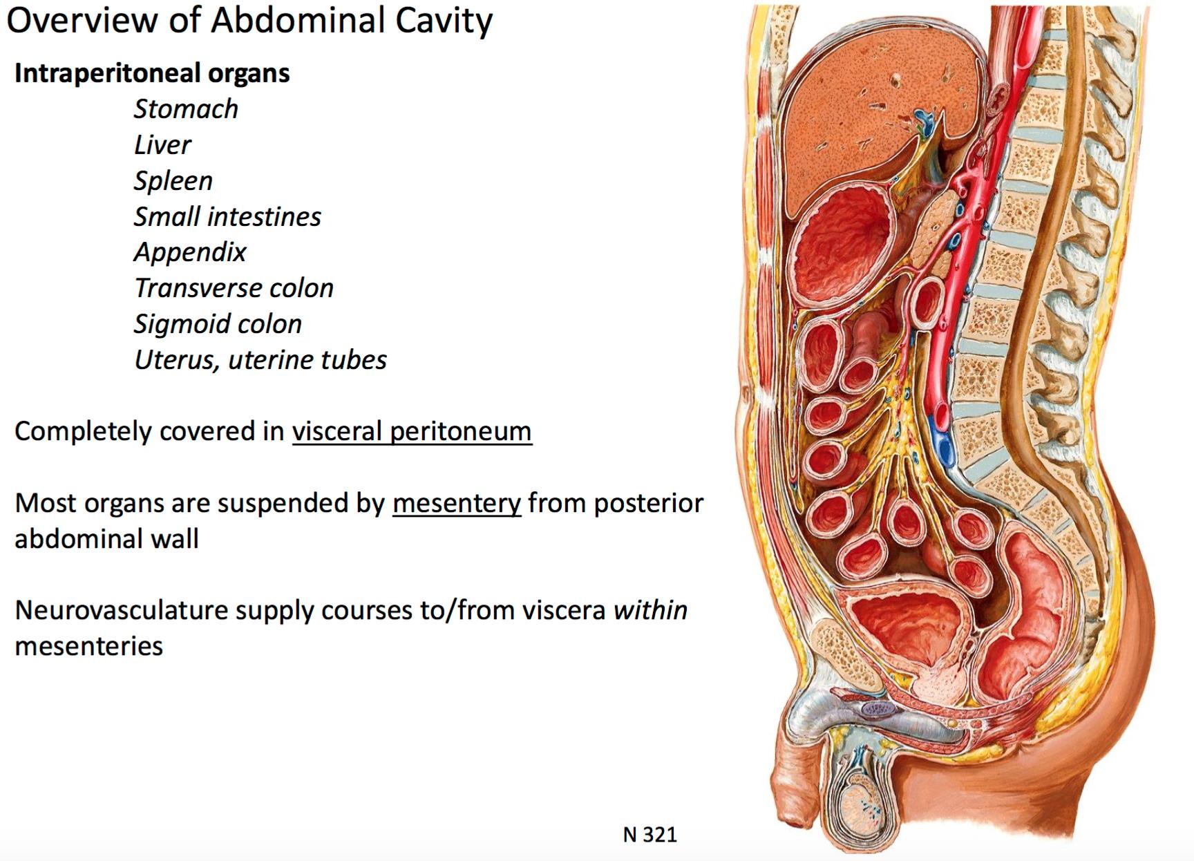 Anatomy G28b Orientation to Abdominal Cavity (anatomy) Flashcards ...