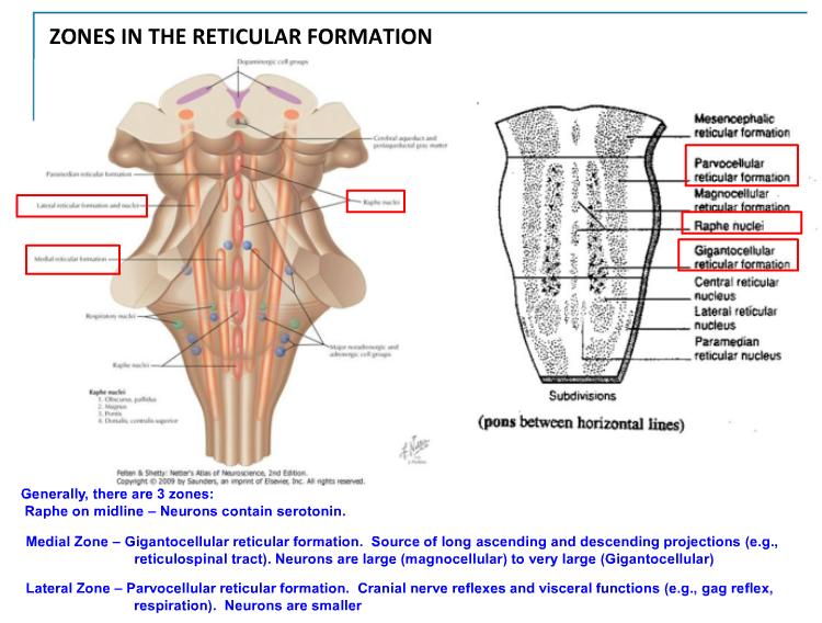 4 20 Reticular Formation Bishop Neuro Flashcards Memorang