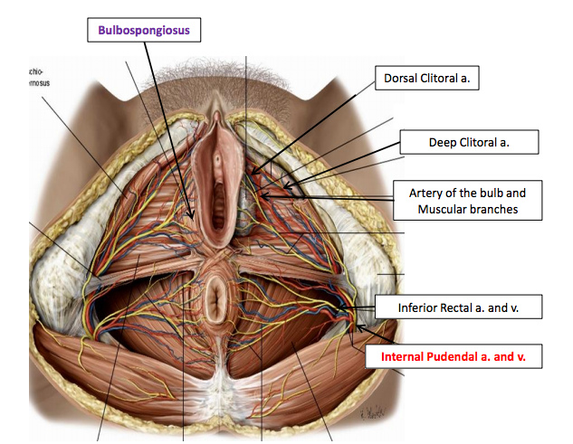 Join. All clitoris dorsal nerve directly. What