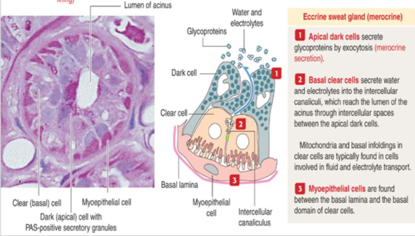Skin Ii Histology I Flashcards Memorang