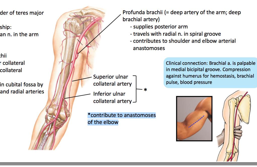 Anatomy Gs11 Flexors Unit 11 Terms From Anatomy Unit 11 Flashcards