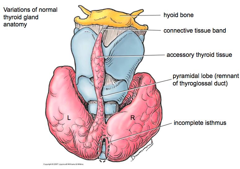 1 7 Larynx Thyroid Gland Anatomy Dephilip Flashcards Memorang