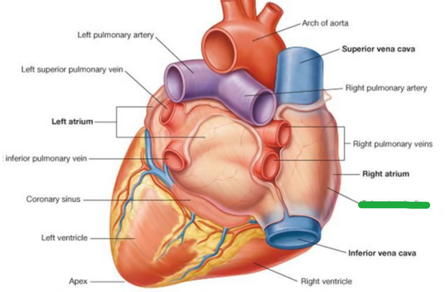 CAR: Anatomy Heart (Anatomy Heart) Flashcards | Memorang
