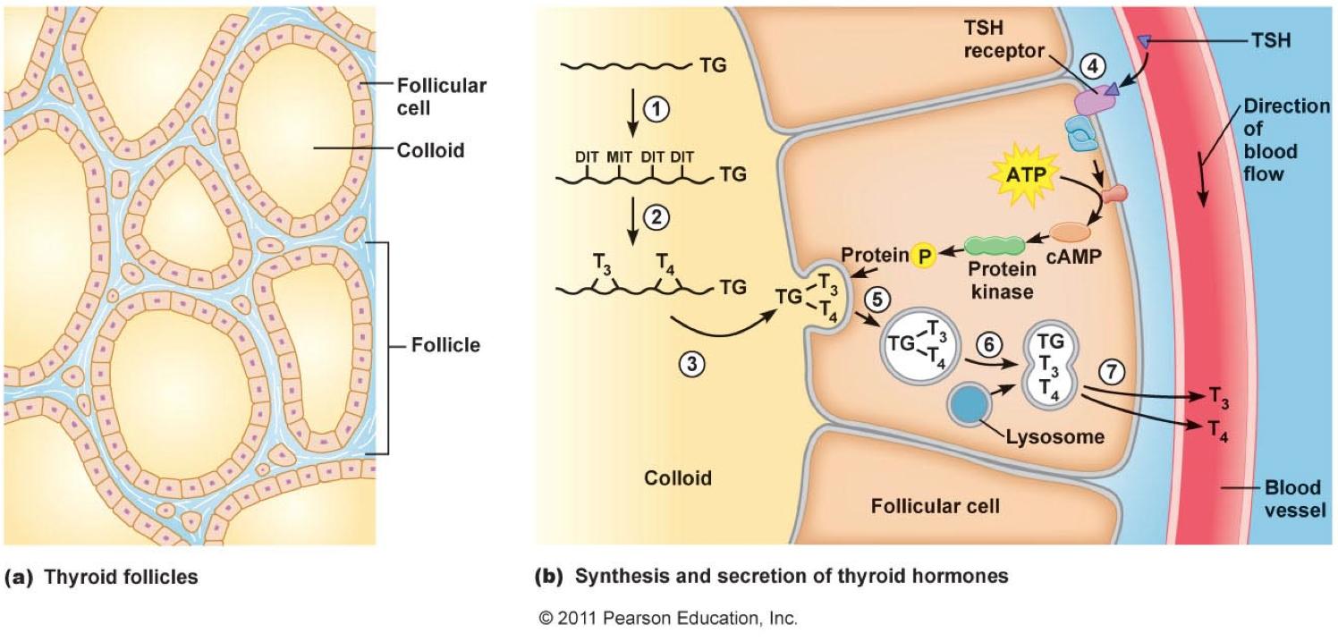 Thyroid Physiology Flashcards Memorang