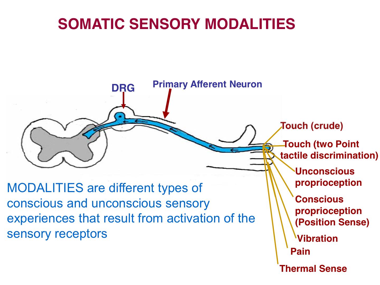 Somatosensory system ascending pathways somatosensory system primary afferent neurons ccuart Images