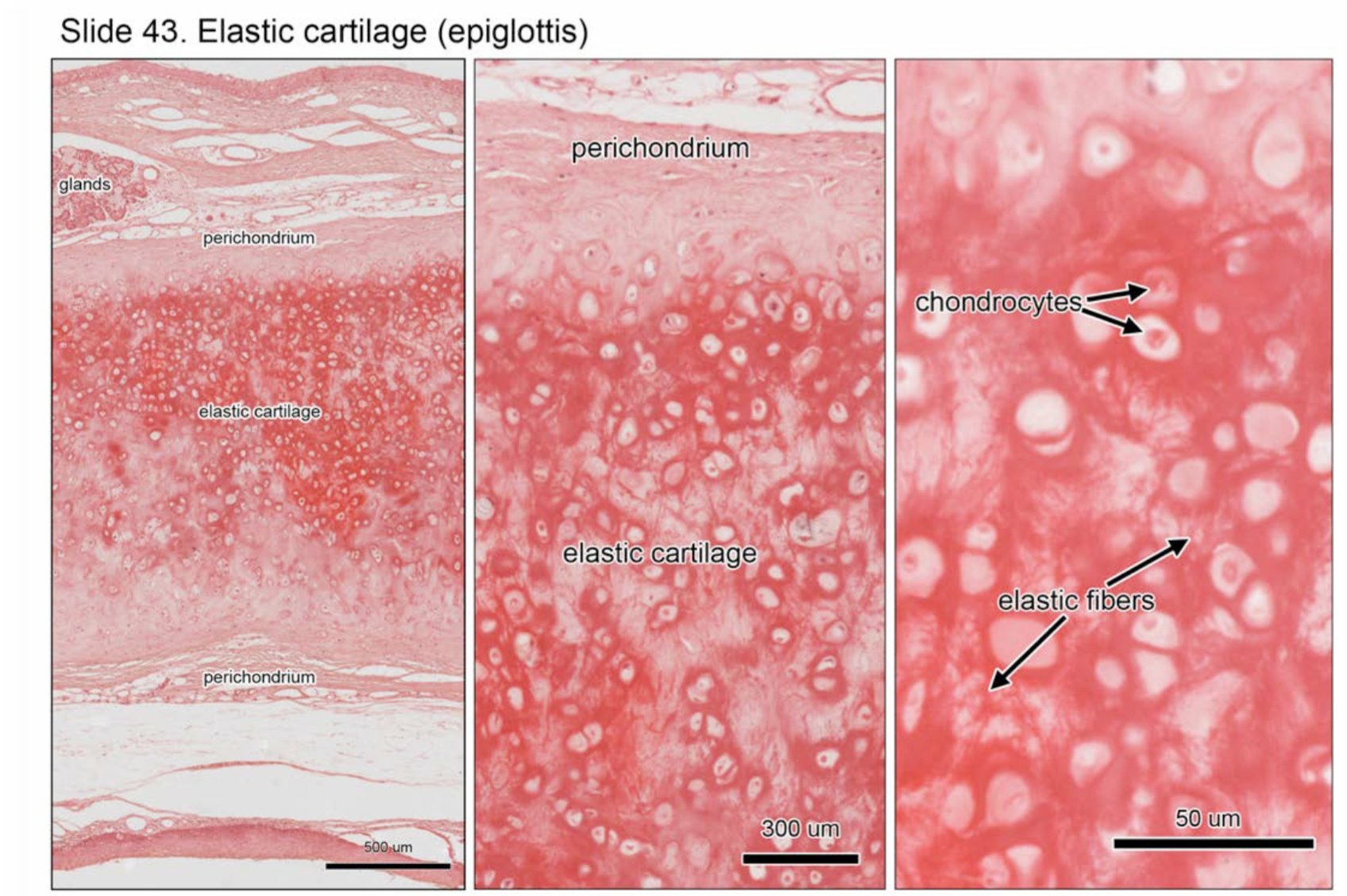 Week 14 Cartilage Histology Phase 1 Flashcards Memorang