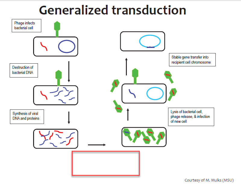 Microbiology exam i bacterial genetics part i flashcards memorang genetic exchange in bacteria transduction generalized transduction fill in the blank ccuart Choice Image