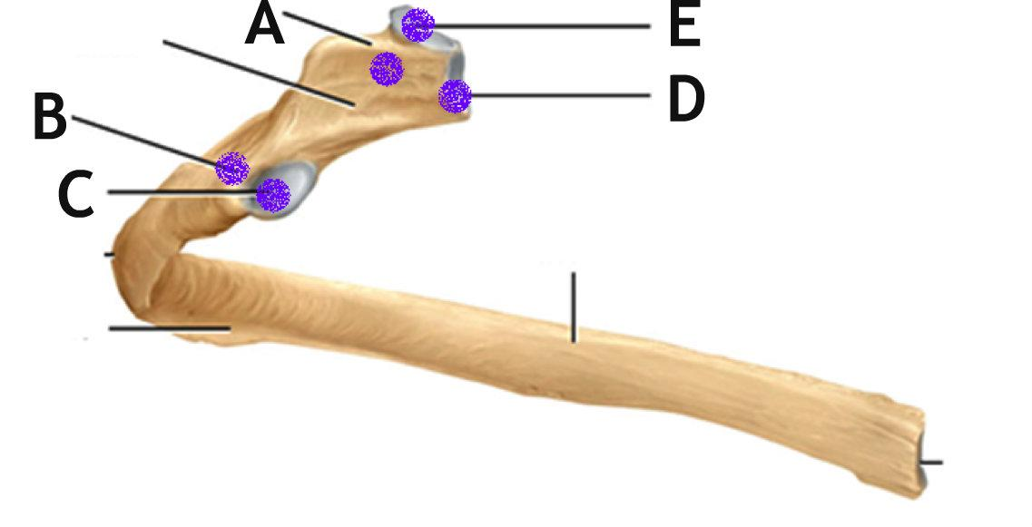 Sternum Diagram Unlabeled Trusted Wiring Diagram