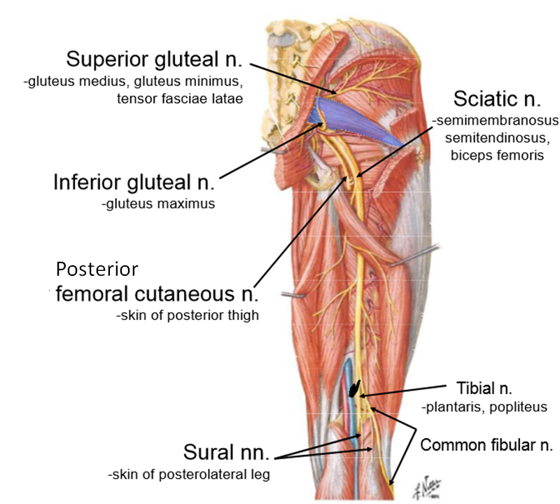 Lumbrosacral Plexus Gross Anatomy Exam 3 Flashcards Memorang