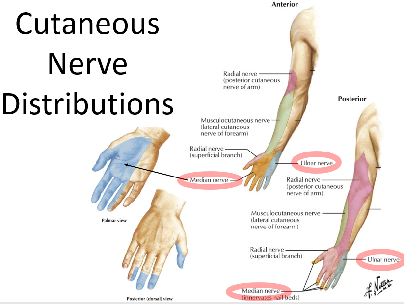 Superficial and Osseous Upper Limb (Anatomy Block 2) Flashcards ...