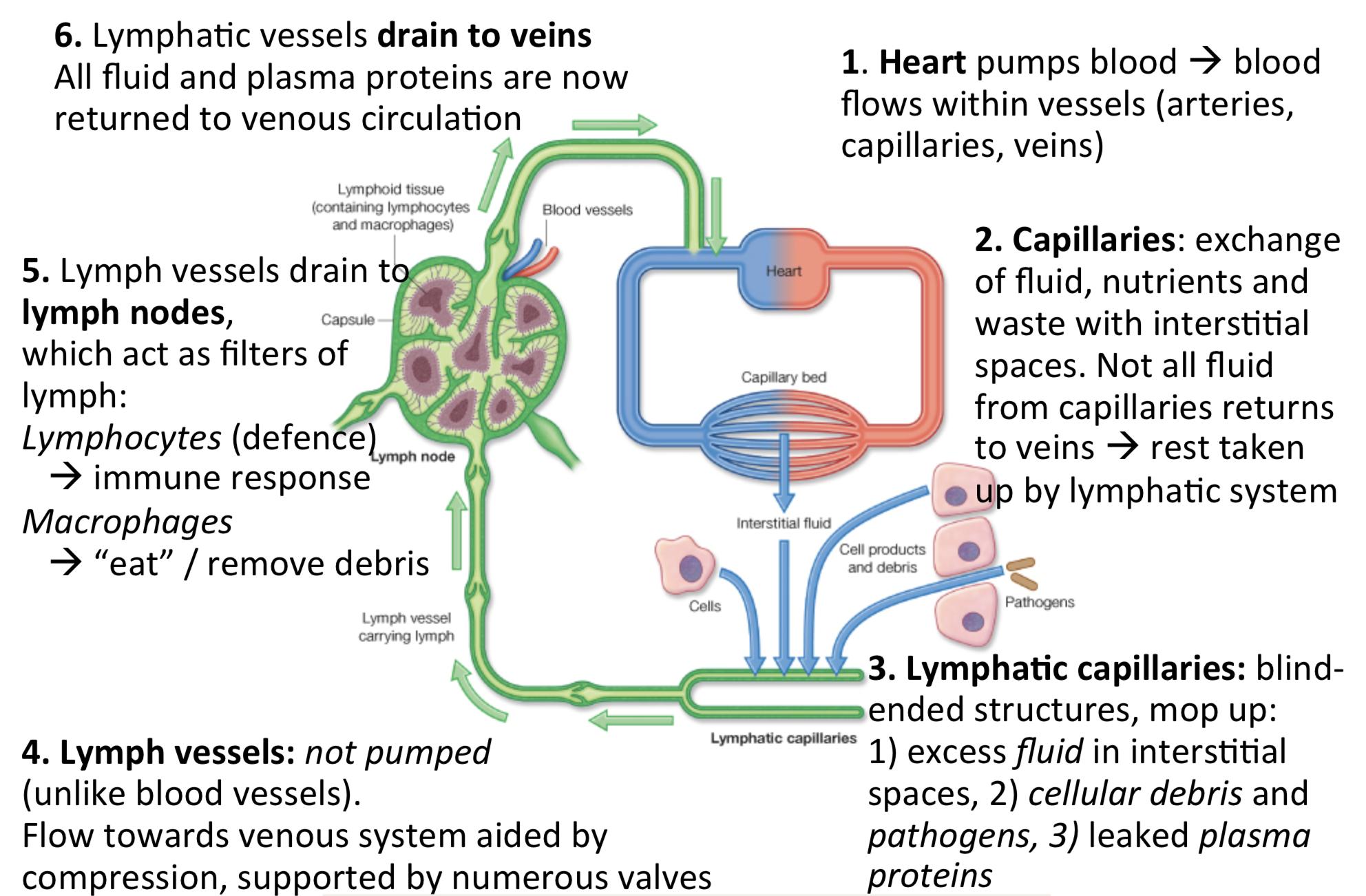 Anatomy 5 Intro To Vessels Arteries Veins Lymphatics