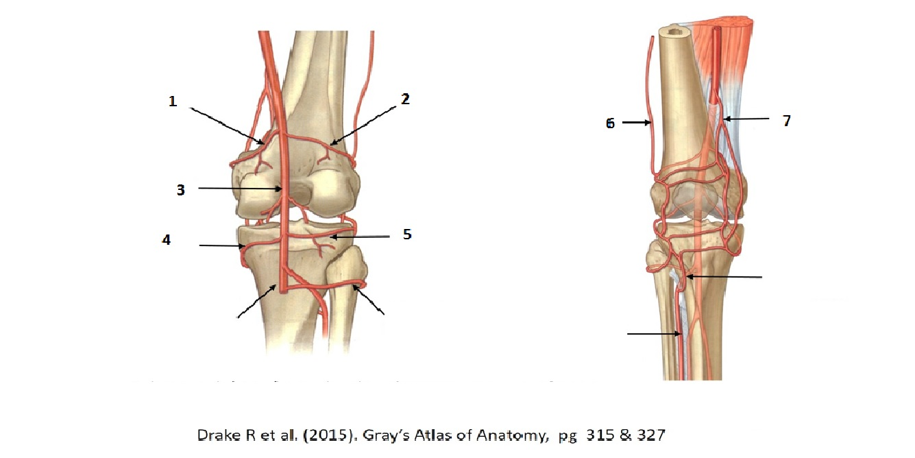 Sites of Vascular Anastomoses of the Lower Limb (Musculoskeletal ...
