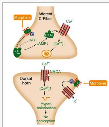 Opioid Analgesics and Antagonists (Neuro - Biochem/Physiology ...