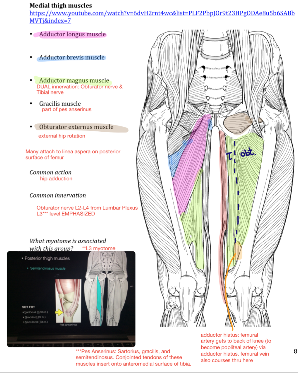 Week 16 Hip Knee Anatomy Phase 1 Flashcards Memorang