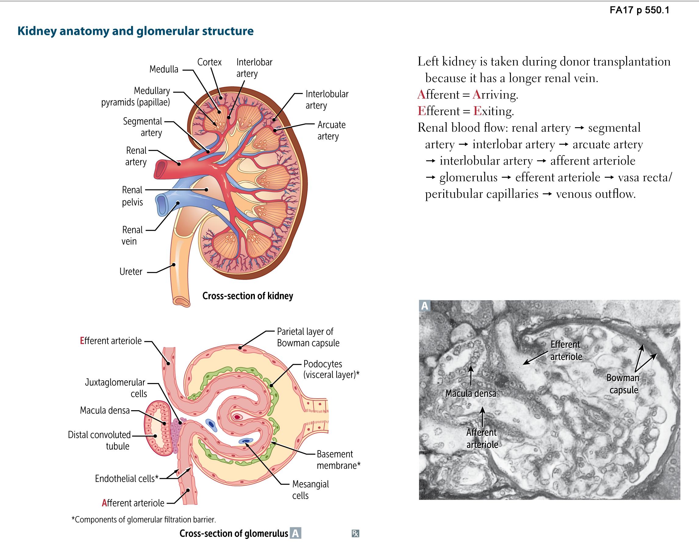 Renal Anatomy - Kidney anatomy and glomerular structure Flashcards ...