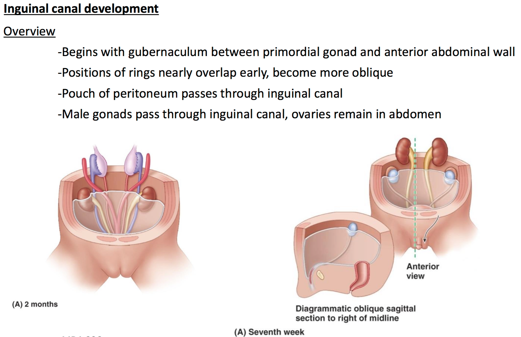 Outstanding Anatomy Inguinal Canal Component - Anatomy and ...