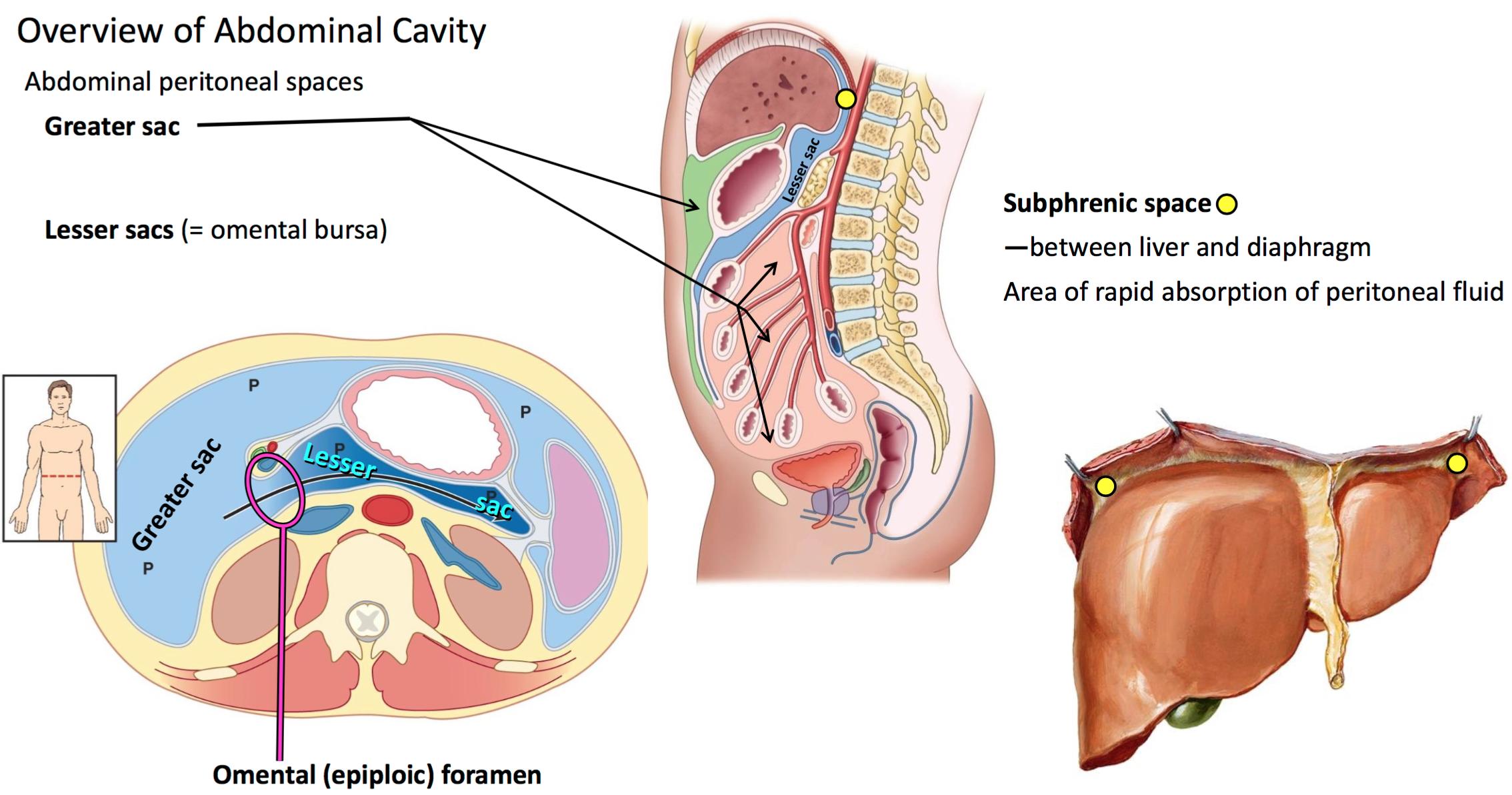Enchanting Stomach Cavity Anatomy Ideas - Human Anatomy Images ...