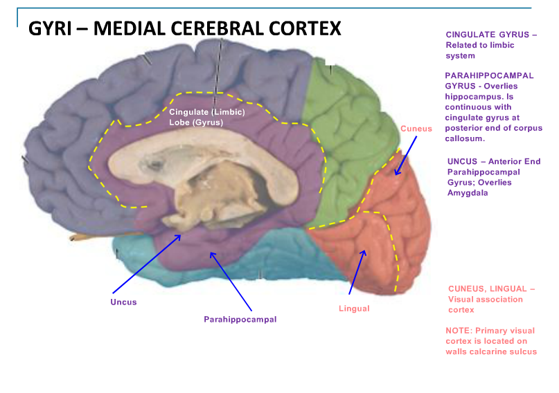 Magnificent Cingulate Gyrus Anatomy Image Collection - Anatomy And ...