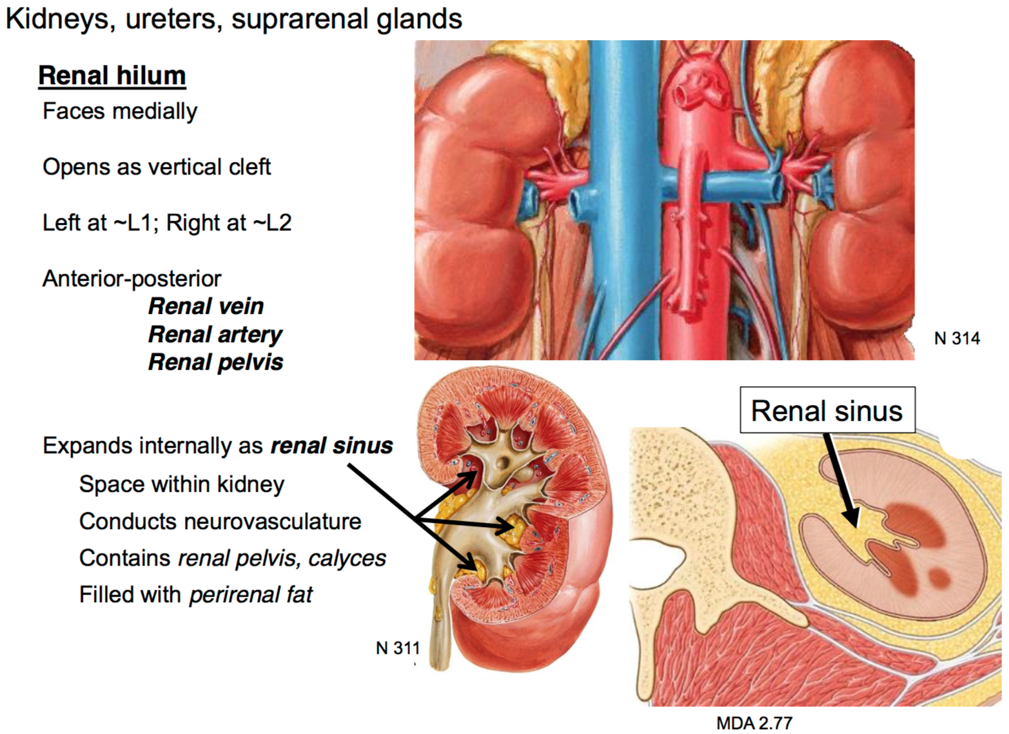 20. Anatomy G35 Posterior Abdominal Viscera (Terms from GS G35 ...