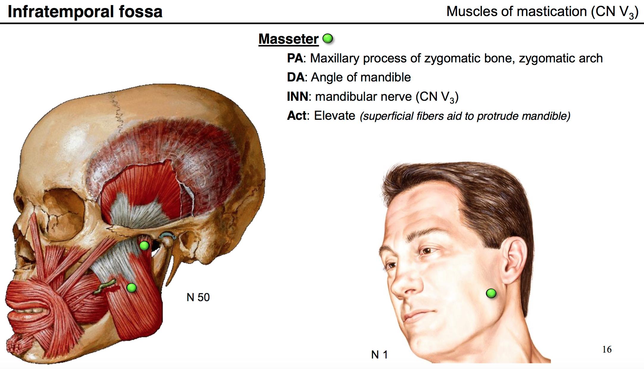 30. Anatomy G60 Temporal Fossa and Infratemporal fossa Flashcards ...