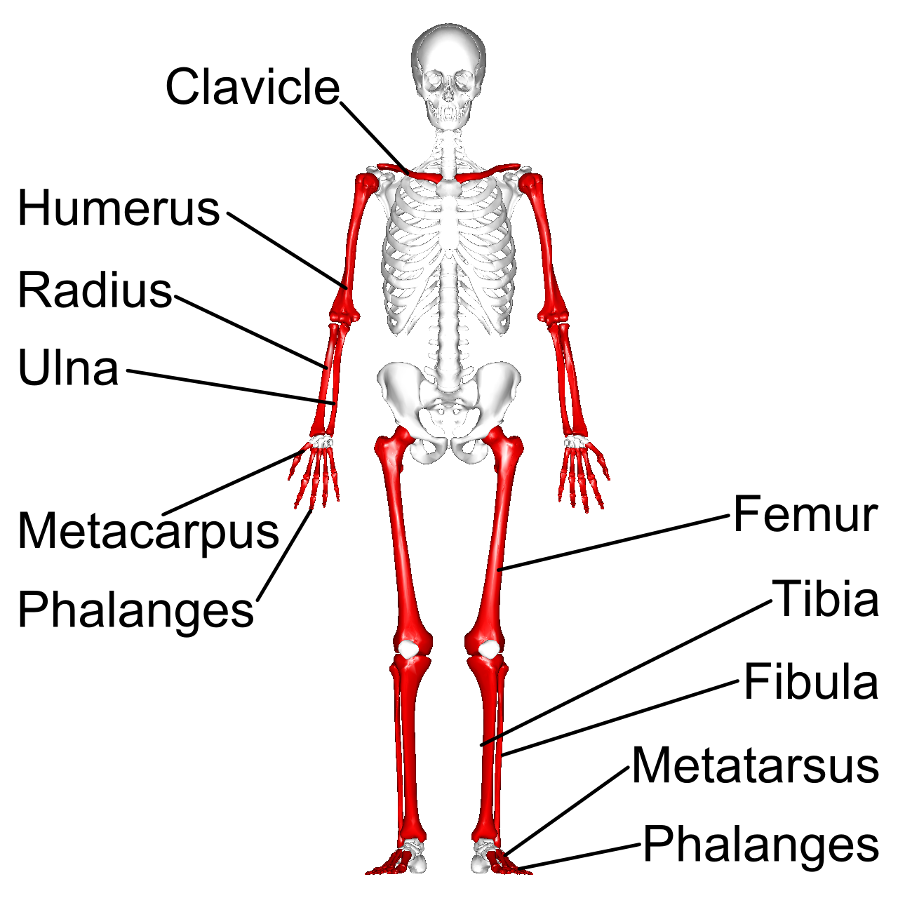 The Skeletal System: Anatomy and Overview (MCAT 2018: Biology ...