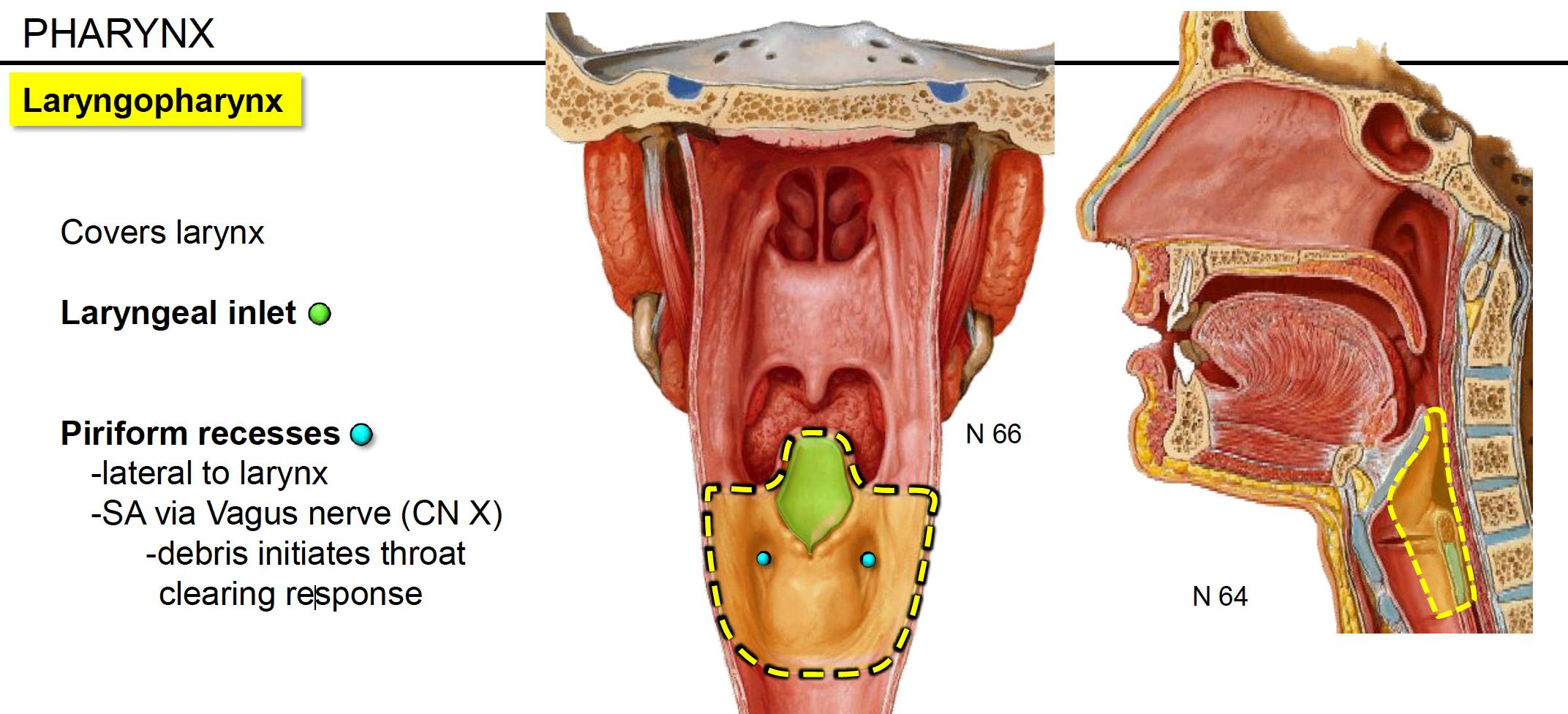 Anatomy G62 Pharynx And Palate Anatomy Unit 8 Flashcards Memorang