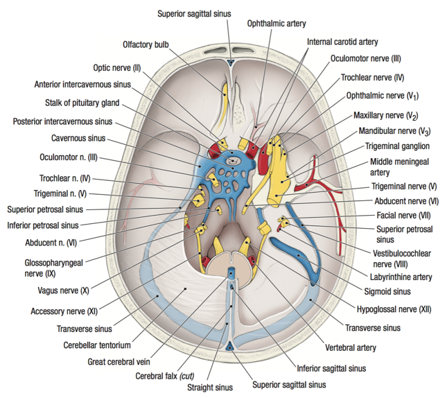 Interior of the Skull (Anatomy - The Head and Neck) Flashcards ...