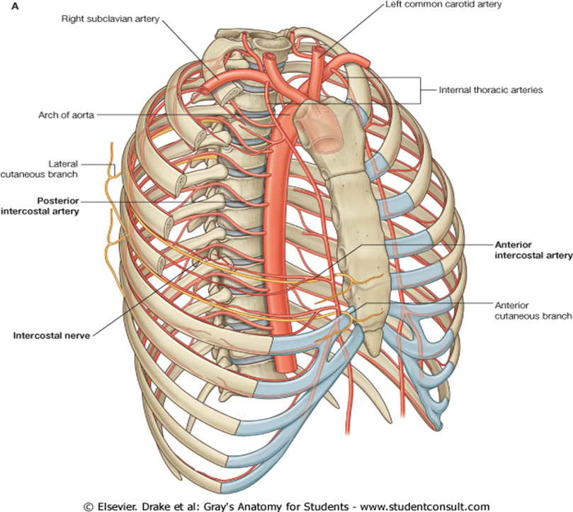 Fancy Intercostal Artery Anatomy Collection - Anatomy And Physiology ...