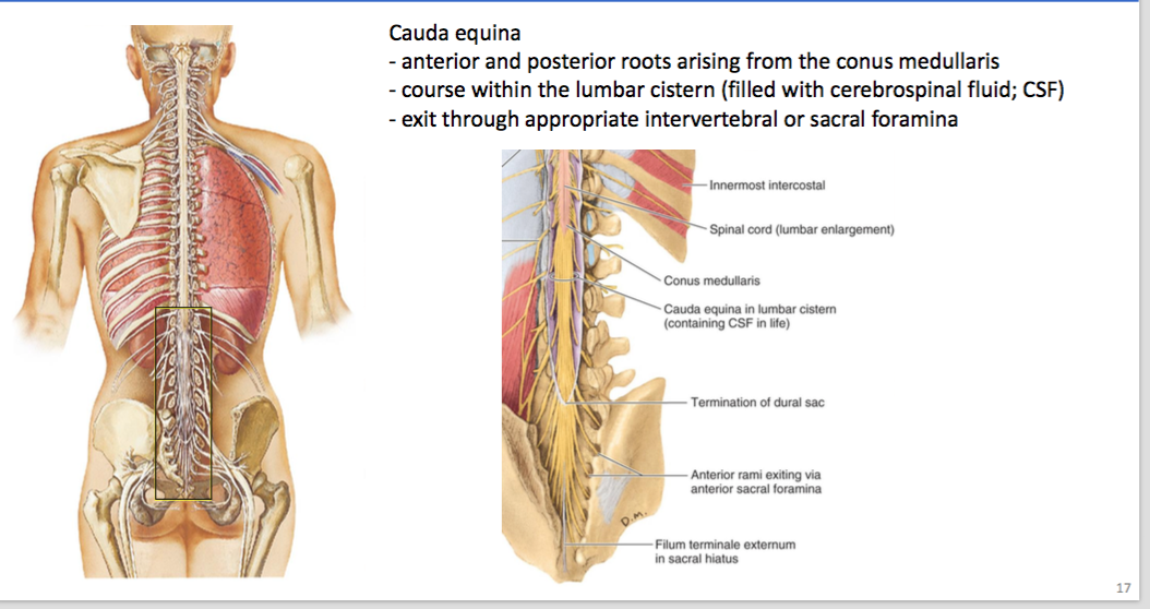 anatomy chapter 6 (spinal chord) Flashcards | Memorang