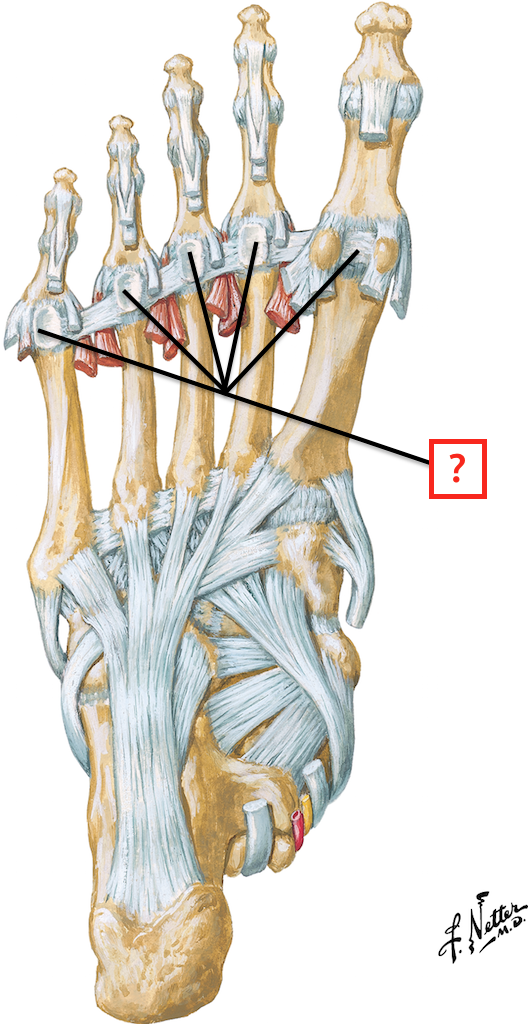 Ligaments and Tendons of Foot: Plantar View Flashcards | Memorang