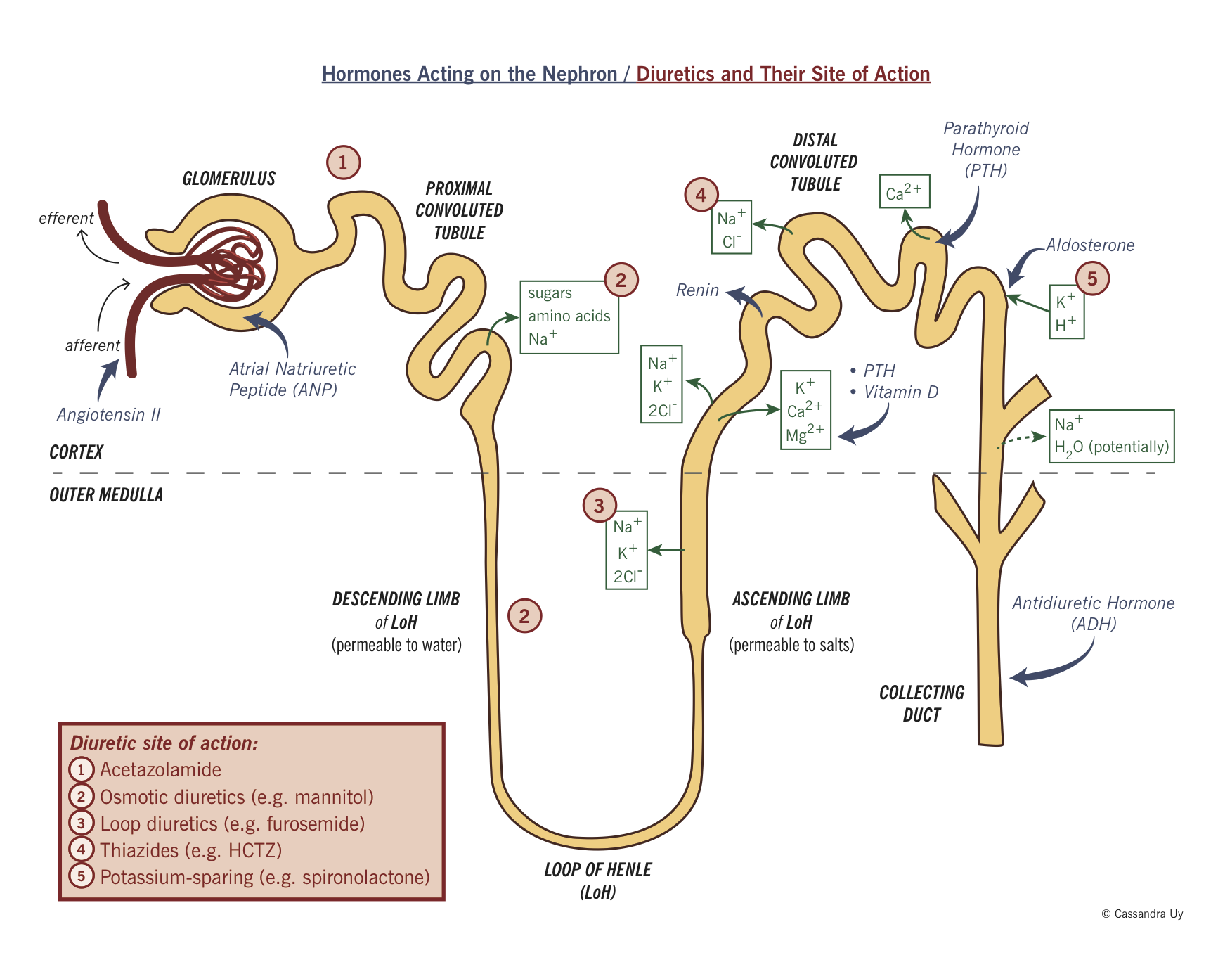 camp water system diagram introduction to renal system physiology flashcards commercial water system diagram #3