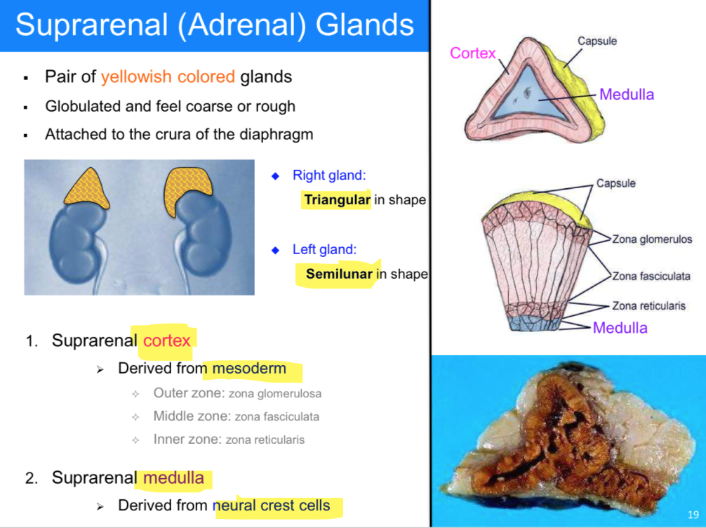 Colorful Suprarenal Gland Collection Anatomy And Physiology