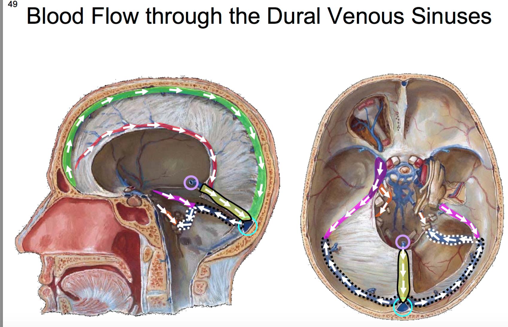Anatomy G56 Brain Dura Blood Supply To The Brain Anatomy Unit 7