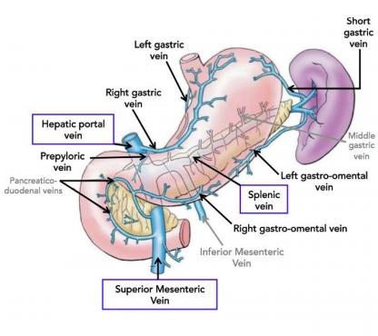 Anatomy Of The Abdomen Flashcards Memorang