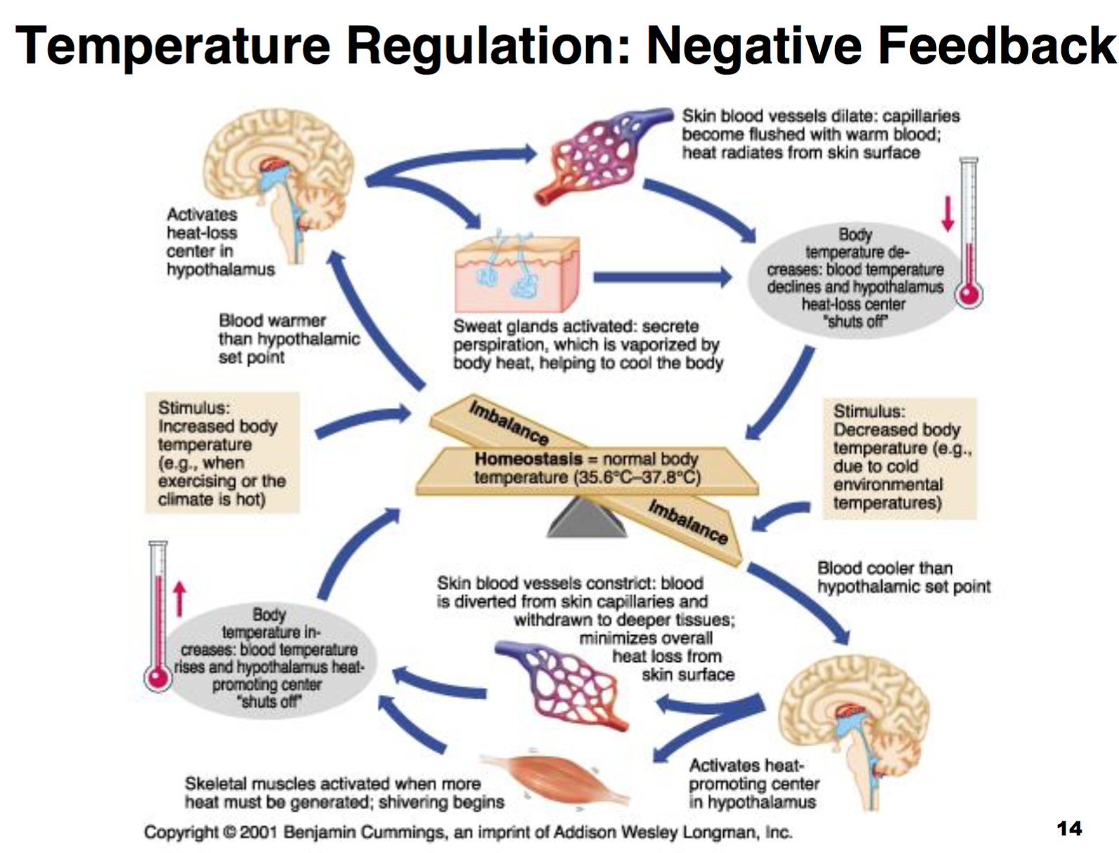 Regulation of body temperature feedback loop diagram wiring ccf physiology l1 2 intro homeostasis membrane transport body temperature feedback loop diagram regulation of body temperature feedback loop diagram ccuart Images