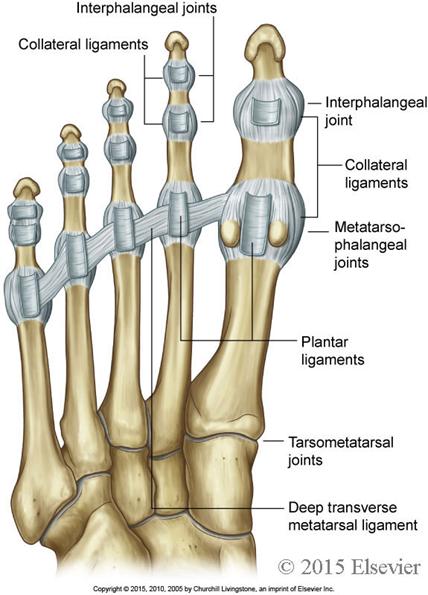 110 Foot Anatomy Anatomy Flashcards Memorang