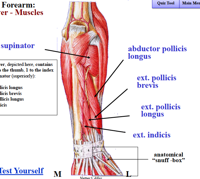 B4W3 Anatomy (Elbow, Wrist, Hand) Flashcards | Memorang