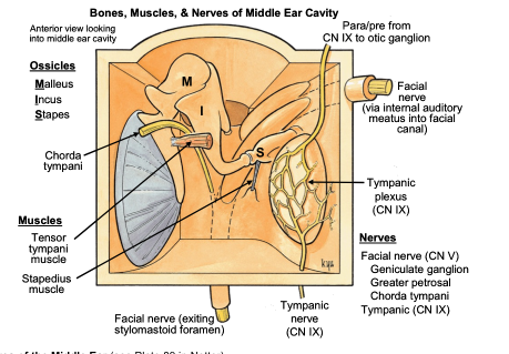 Diagram Of Medial Wall Of Middle Ear Image collections ...
