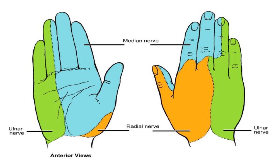 Anatomy of the Hand (L22) Flashcards | Memorang