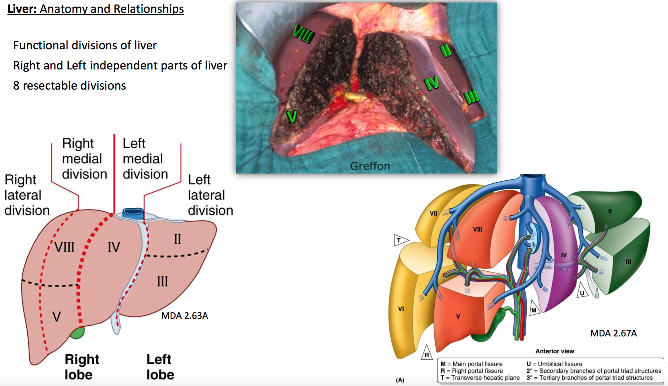 Liver Lobe Anatomy Gallery - human body anatomy