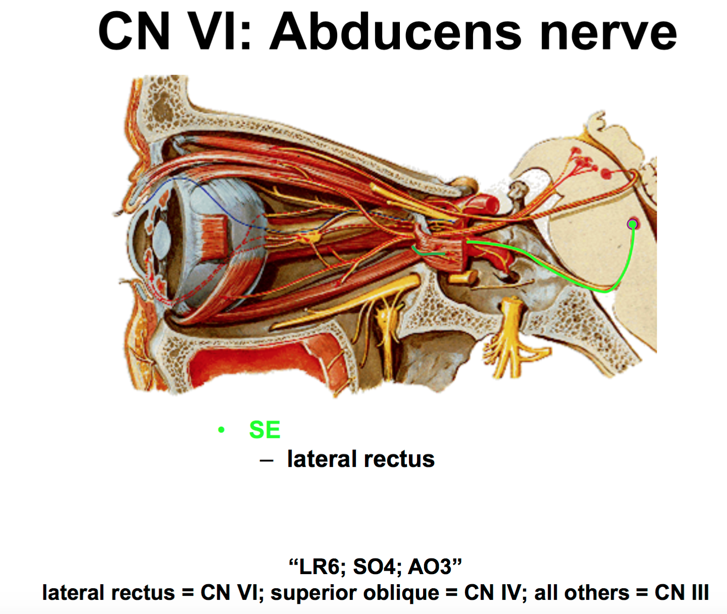 Anatomy G57 Orientation to Cranial Nerves (Anatomy Unit 7 ...