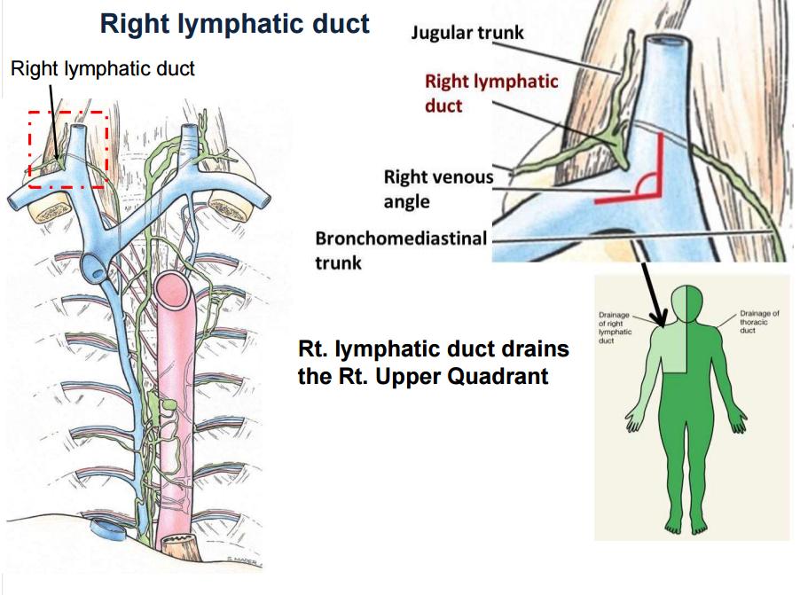 posterior mediastinum flashcards | memorang, Human Body