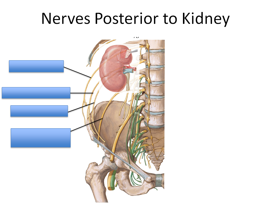 Lecture 4 Kidneys (Gross Anatomy Unit 6) Flashcards   Memorang