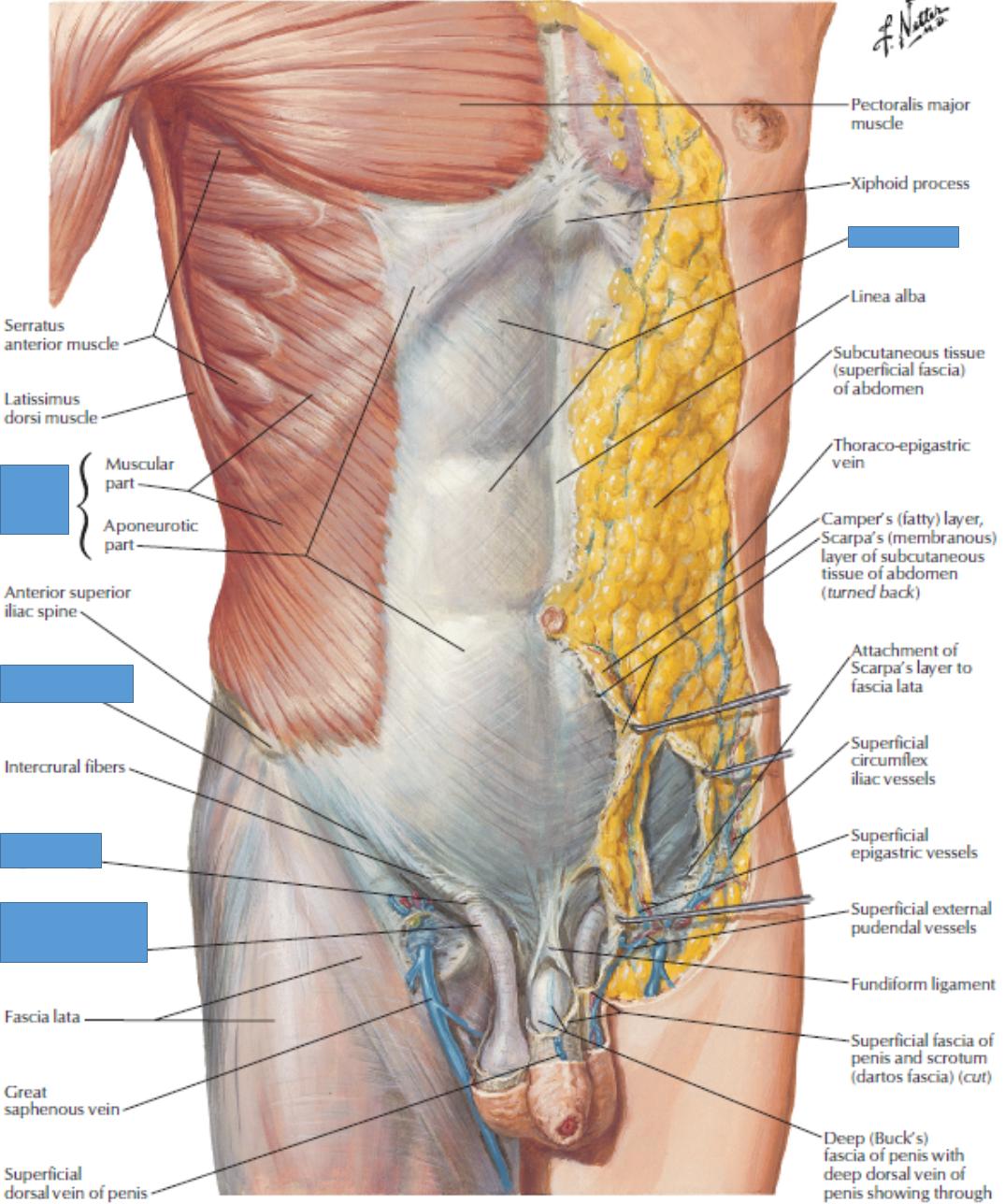 Lecture 1 Abdomen (Gross Anatomy Unit 7) Flashcards | Memorang