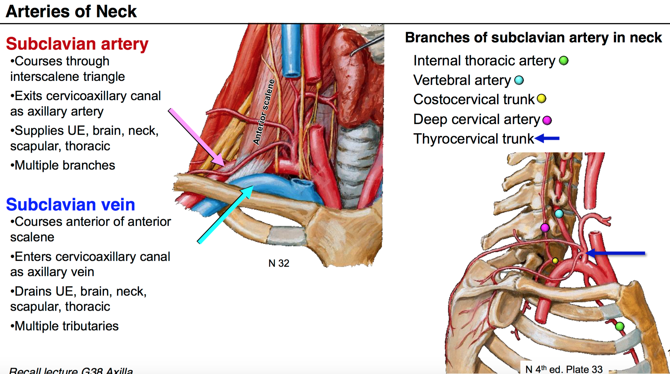 Anatomy G54 Neck II (Anatomy Unit 7) Flashcards | Memorang
