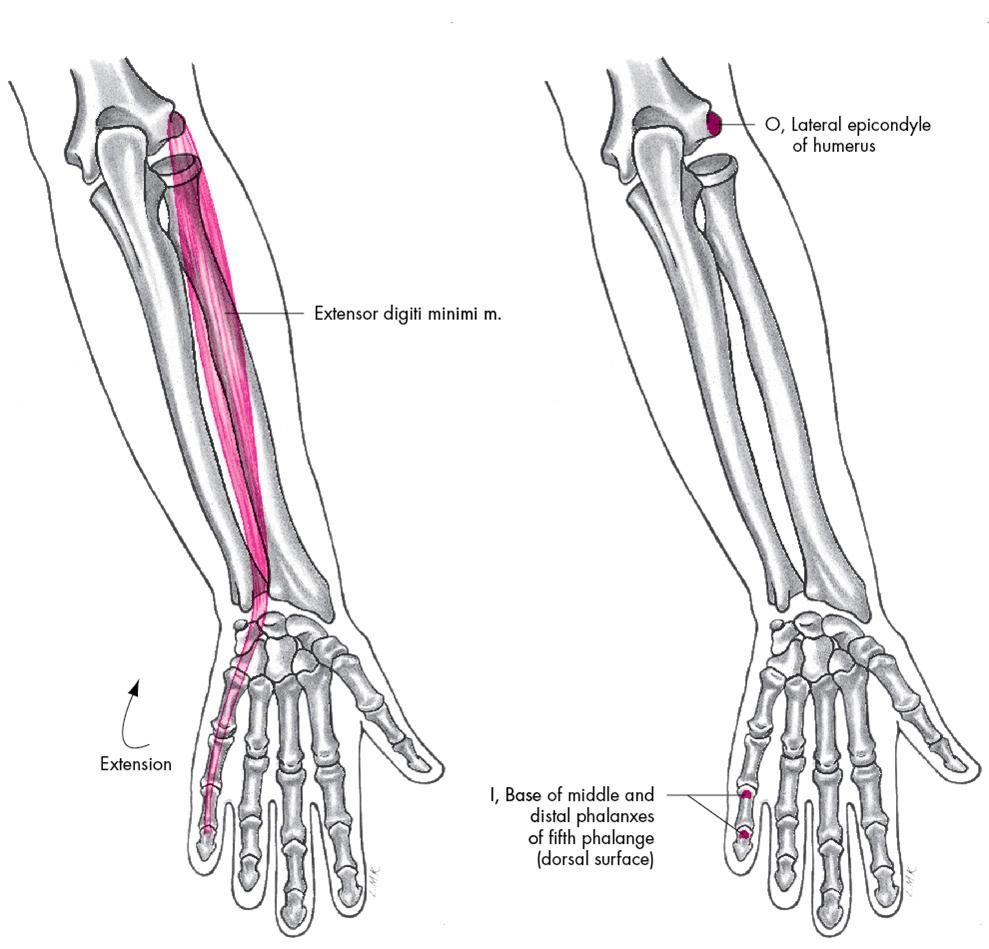 005C - Extensors (Anatomy) Flashcards   Memorang