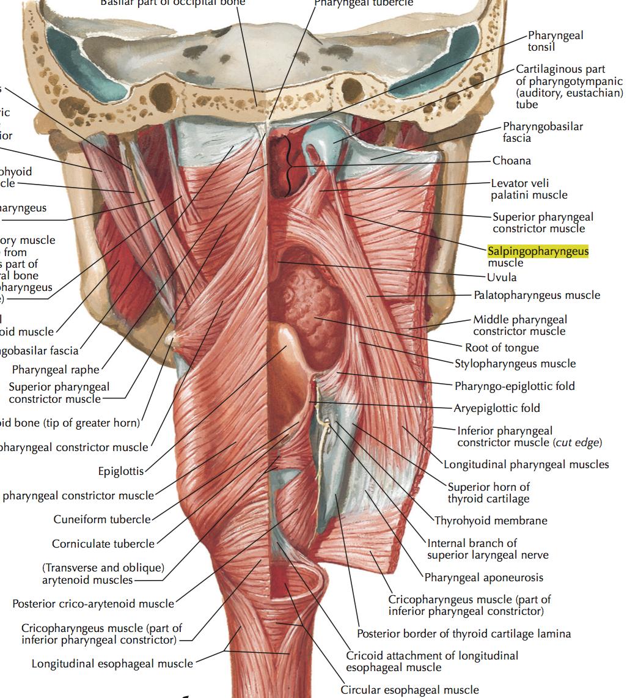 Pharynx Larynx Head Neck Flashcards Memorang