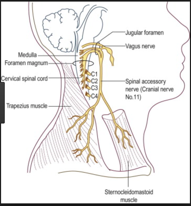 N27-28 Cranial Nerves I & II (CCOM Neuroscience Unit 3) Flashcards ...