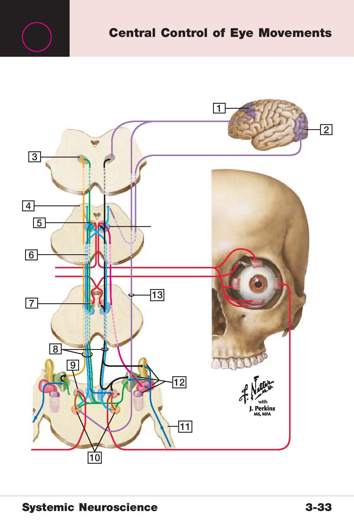 Beste Hirnnerv 3 Anatomie Bilder - Anatomie Ideen - finotti.info