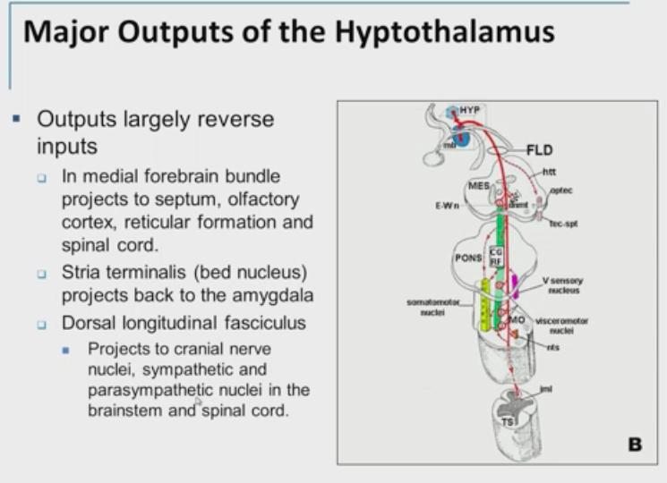 4-21, Hypothalamus (Weil) (Neuro) Flashcards | Memorang